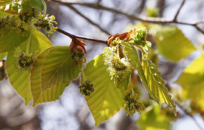 花咲くブナ