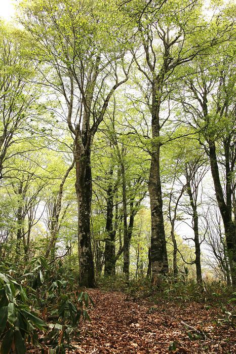 新緑の鹿俣山ルート